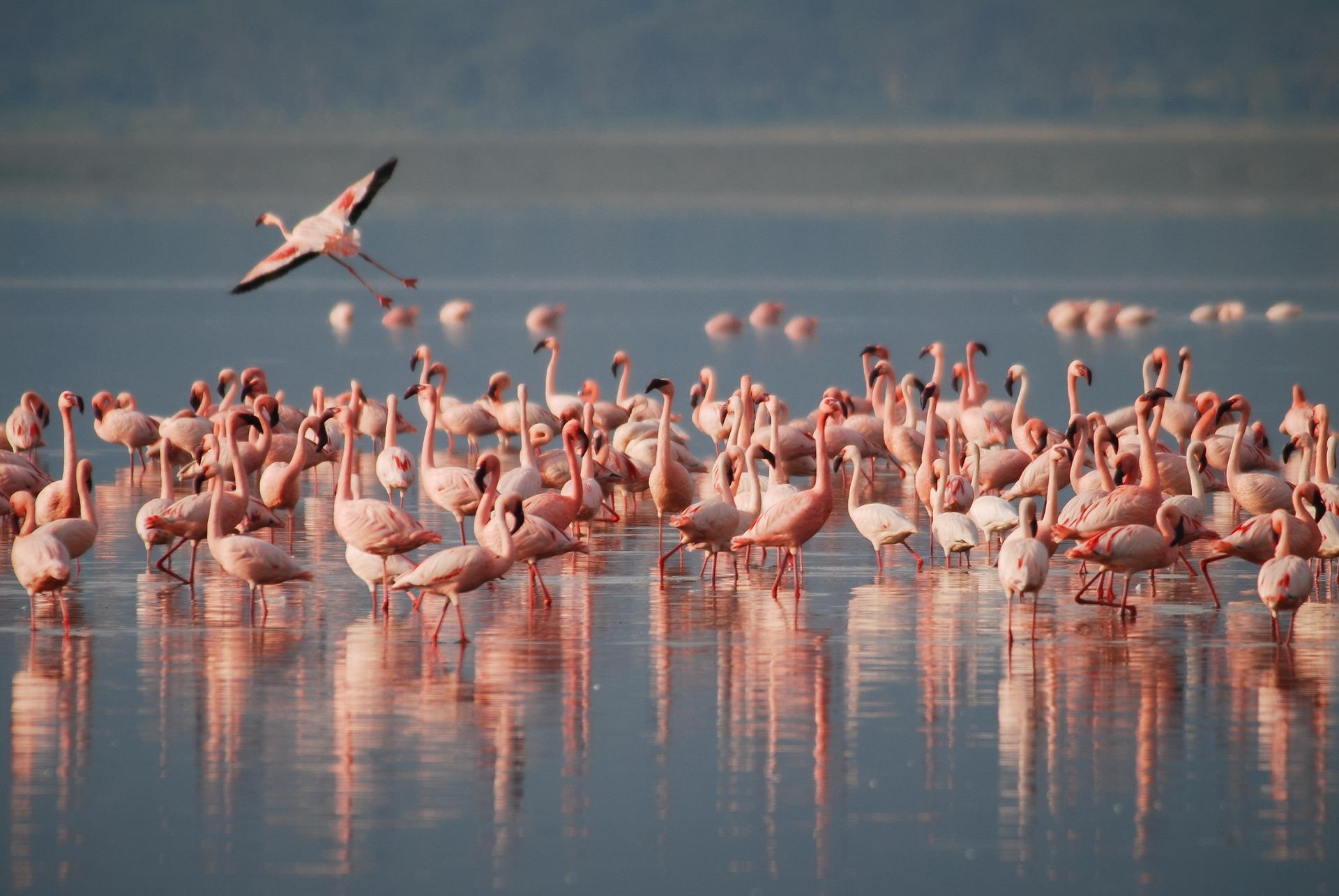 Wilde Flamingos auf der Isla Holbox in Mexiko