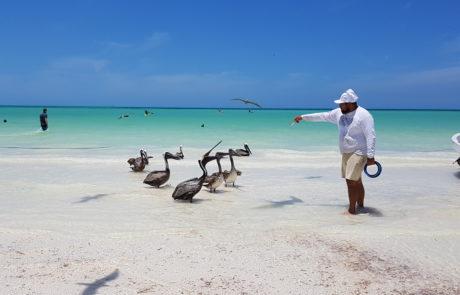 Pelikane werden von Fischern mit kleinen Fischen am Strand auf der Isla Holbox in Mexiko gefüttert